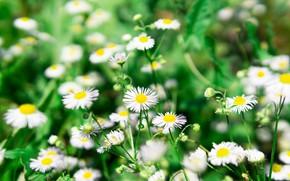 Картинка трава, цветы, природа, ромашки