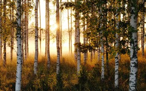Картинка лето, солнце, деревья, утро, березы, роща