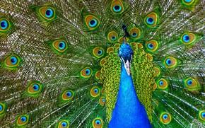 Картинка перья, Птица, окрас, Павлин