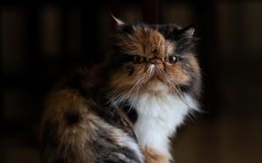 Картинка кот, взгляд, фон, портрет, мордочка, котейка, Персидская кошка