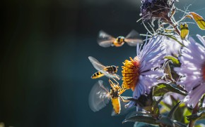 Картинка цветы, насекомые, природа, пчёлы