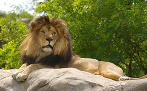 Картинка animals, nature, cat, lion, predator, face, animal, cats, look, body, wildlife, paws, portrait, muzzle, stare, …