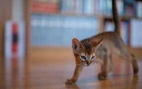 Картинка котёнок, боке, котейка, Абиссинская кошка