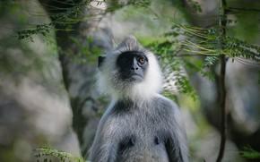 Картинка взгляд, ветки, фон, портрет, обезьяна, мордашка, обезьянка, боке