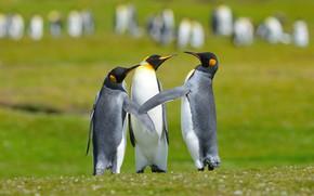 Картинка птицы, поляна, пингвины, три, трио, общение