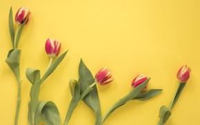 Картинка цветы, flowers, spring, red, красные, tulips, тюльпаны, fresh, желтый фон
