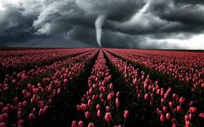 Картинка гроза, поле, небо, свет, цветы, тучи, шторм, ветер, красота, буря, тюльпаны, ураган, торнадо, розовые, много, …