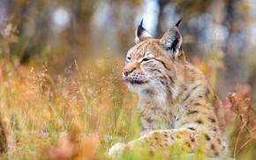 Картинка лес, кошка, трава, морда, природа, фон, отдых, поляна, портрет, лежит, рысь, дикая, стебельки, боке