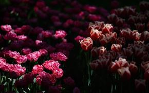 Картинка свет, цветы, темный фон, весна, сад, тюльпаны, красные, розовые, клумба, много, двухцветные