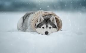 Картинка зима, взгляд, снег, собака, шарф, мордашка, Хаски