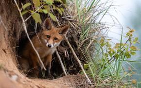 Картинка трава, ветки, природа, животное, нора, лиса, лисица