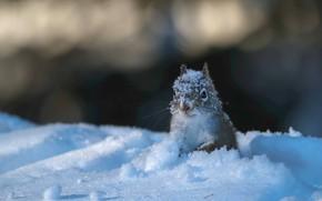 Картинка снег, белка, мордочка