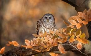 Обои неясыть, осень, ветки, золотая осень, птица, листва, боке, дерево, листья, пестрая, сова, фон, взгляд