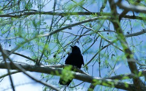 Картинка ветки, дерево, птица, черный, черная, ворон, хвоя, ворона, шишки, голубой фон, боке