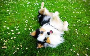 Картинка зелень, лето, трава, морда, радость, цветы, природа, поза, настроение, поляна, ромашки, собака, позитив, луг, щенок, …