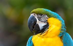 Картинка взгляд, фон, птица, портрет, попугай, ара