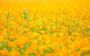 Картинка поле, лето, космос, цветы, фон, поляна, желтые, луг, оранжевые, много, боке, космея, космеи, цветочное
