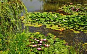 Картинка зелень, природа, озеро, весна, водяные лилии