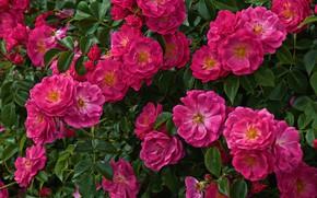 Картинка розы, много, розовый куст