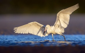 Картинка природа, птица, Голубоногая цапля