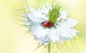 Картинка белый, цветок, лето, макро, красный, фон, божья коровка, жук, размытие, насекомое, жучок, нигелла