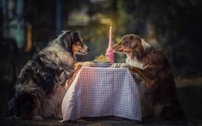 Картинка животные, собаки, стол, свеча, пара, тарелки, спагетти, боке, аусси