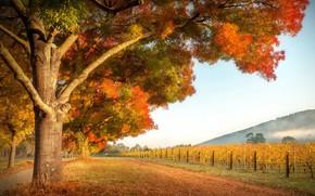 Картинка осень, сад, виноградник