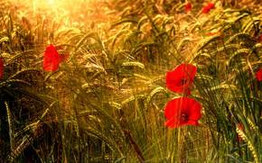 Картинка цветы, рожь, маки, колосья