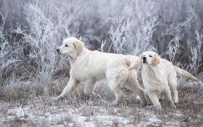 Картинка игра, два щенка, зима, иней, парочка, поляна, две, ветки, поза, носятся, два, мордашки, собаки, природа, …