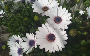 Картинка Цветочки, Flowers, Остеоспермум, Белые цветы, White flowers
