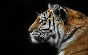Картинка природа, тигр, фон, зверь