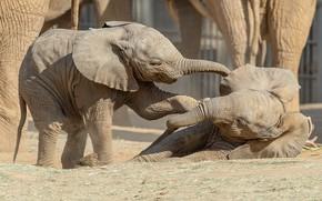 Картинка игра, слон, пара, малыши, слоны, парочка, детеныш, два, детеныши, слоненок, слонята, слонёнок, барахтаются, два слоненка