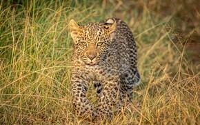Картинка трава, леопард, детёныш, дикая кошка