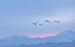 Картинка зима, небо, полет, горы, птицы, туман, рассвет, склоны, вершины, высота, стая, утро, дымка, белые, лебеди, …