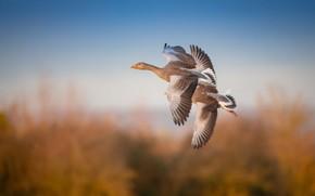 Картинка осень, небо, полет, птицы, природа, две, высота, пара, дуэт, два, гусь, гуси, две птицы