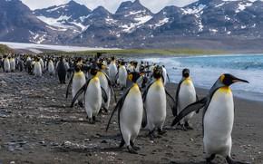 Картинка море, горы, птицы, берег, стая, пингвины, команда, водоем, много, Антарктида, общество, тусовка, шагают