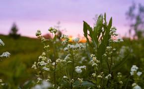 Картинка поле, лето, макро, закат, цветы, природа