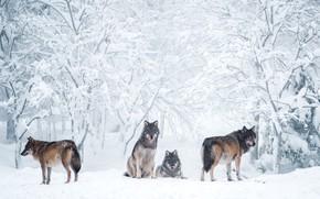 Картинка зима, иней, лес, снег, деревья, ветки, природа, серый, волк, стая, сугробы, волки, компания, серые, светлый …
