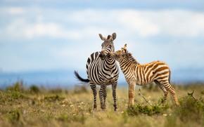 Картинка малыш, зебра, пара, две, мама, зебренок, детеныш, поле, небо, зебры