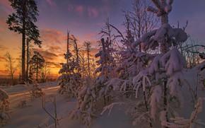 Картинка зима, снег, деревья, пейзаж, природа, утро, ели, сосны