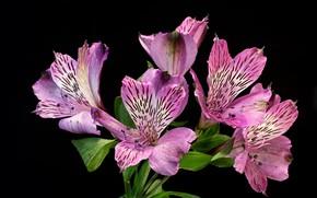 Картинка цветы, лепестки, розовые, чёрный фон