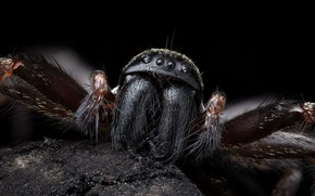 Картинка Nature, Macro, Grey house spider, Badumna longinqua