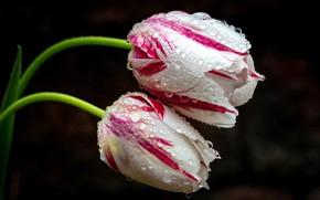 Картинка капли, макро, тюльпаны, бутоны, пестрые