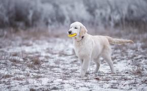 Картинка зима, иней, белый, трава, взгляд, снег, природа, поза, игрушка, игра, собака, хвост, щенок, прогулка, мордашка, …