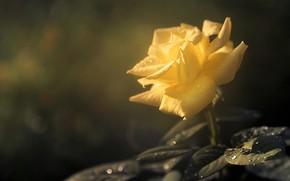 Картинка листья, капли, роза, боке