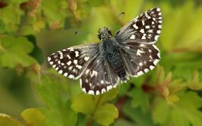 Картинка листья, макро, зеленый, фон, узор, бабочка, растение, насекомое, серая, крылышки, коричневая, пестрая