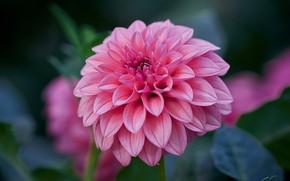 Картинка цветок, листья, макро, фон, розовая, георгина, боке
