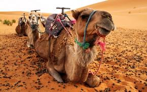 Картинка пустыня, верблюд, верблюды