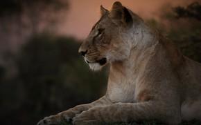 Картинка портрет, львица, дикая кошка, красава