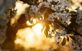 Картинка солнце, свет, цветы, фон, настроение, ветка, весна, белые, цветение, боке, весеннее, плодовое дерево